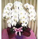 胡蝶蘭園.comの画像
