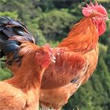 地鶏ファームの画像