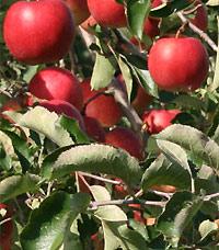 りんごの樹