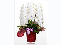 胡蝶蘭園.comの画像1