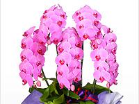 胡蝶蘭園.comの画像2